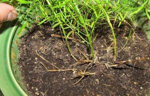Аспарагус почва