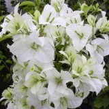 Бугенвиллия Jamaica White
