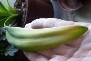 Листья амариллиса желтеют