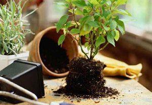 растение без горшка