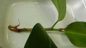 Размножение фикуса