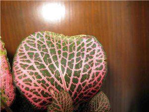 У фиттонии скручен лист