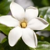Гардения гавайская