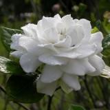 Гардения жасминовидная Fortuneana