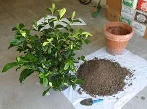 Гардения почва