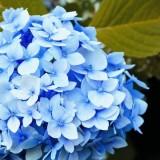 Гортензия крупнолистная «All Summer Beauty»