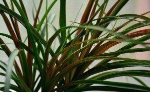 Желтые листья нолины