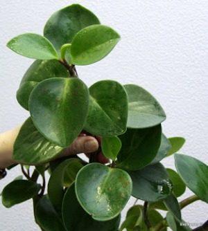 Пеперомия пятна на листьях