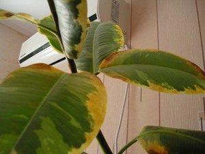 Фикус желтеют листья