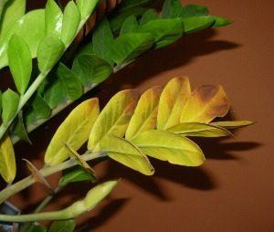 Замиокулькас пожелтение листьев