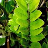 Замиокулькас лист