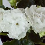 Сенполия Сахарная роза