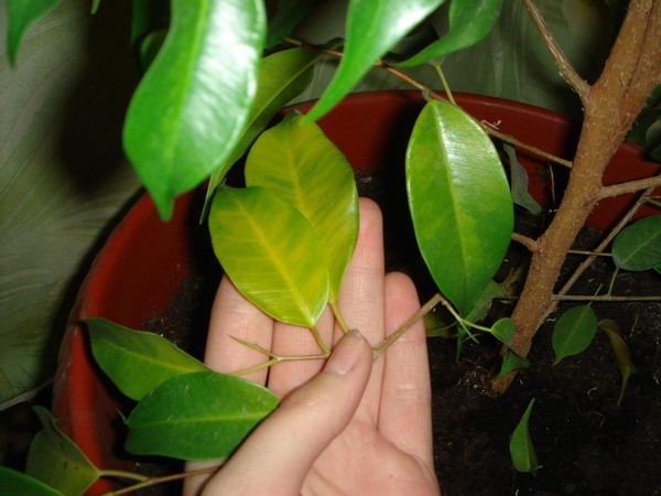 Выращивание фикуса опадают листья 251