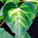 Плющ колхидский Sulphur Heart