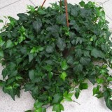 Плющ обыкновенный Green Ripple