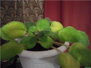 Пожелтение листьев фиалки