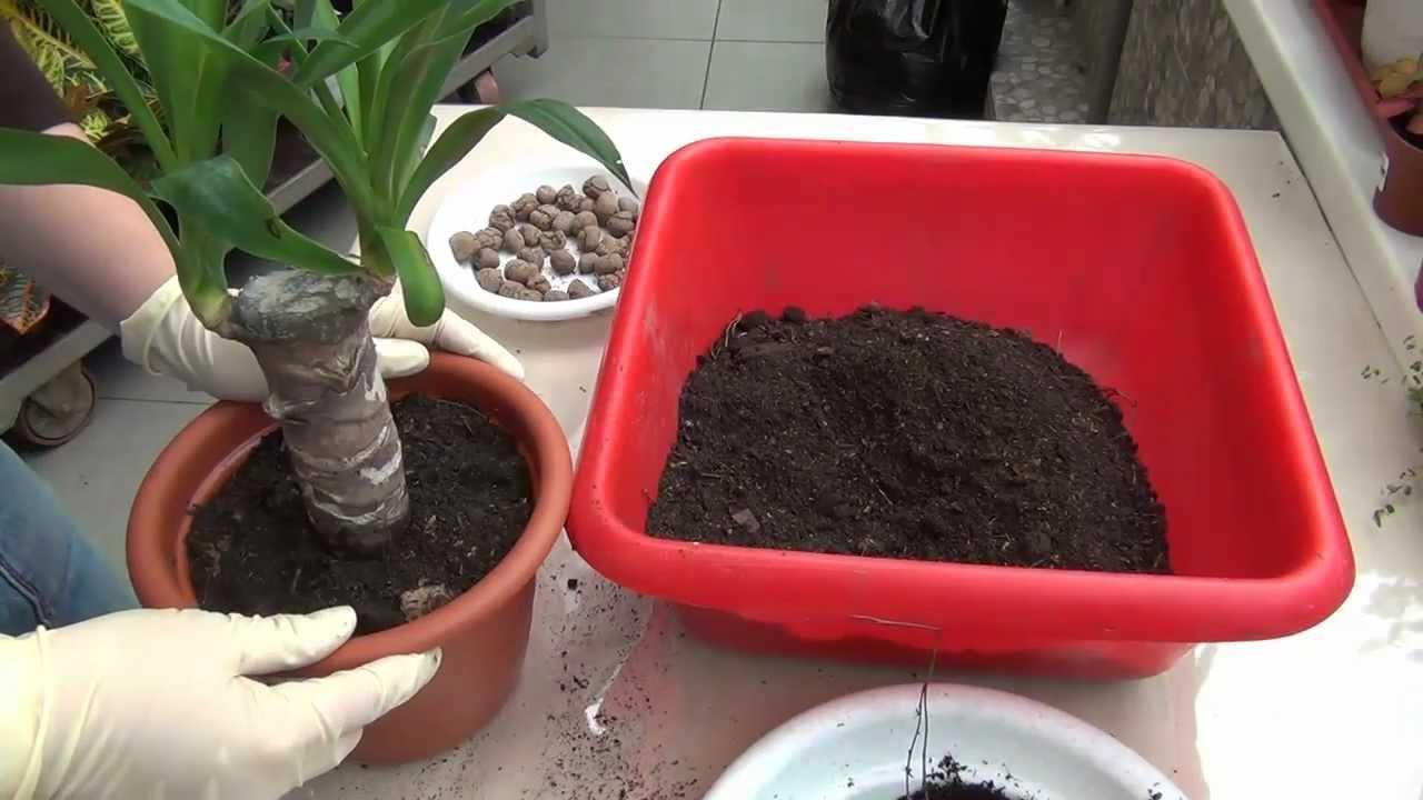 Как размножить юкку слоновую в домашних условиях пошаговое