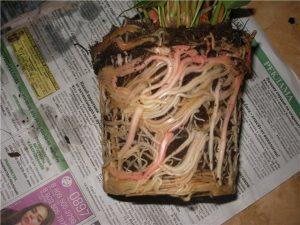 Антуриум корни