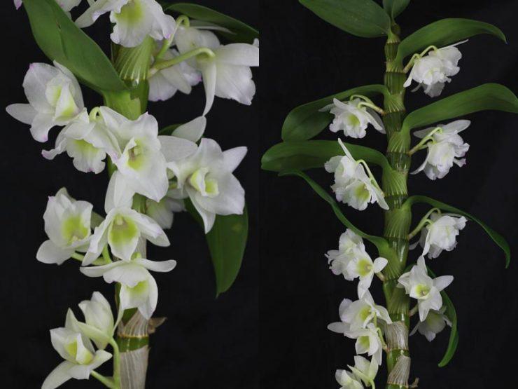 Орхидея дендробиум нобиле - уход в домашних условиях