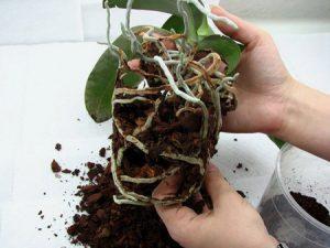 орхидея из горшка