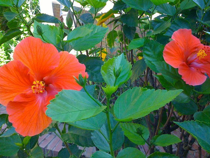 Китайская роза или гибискус цветок смерти отзывы