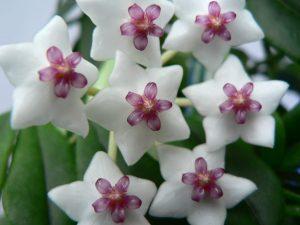 Хлоя цветок уход и 54