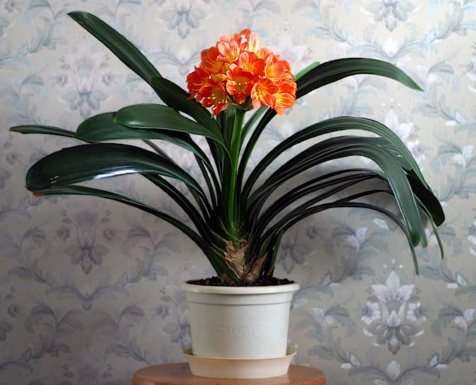 Кливия фото в домашних условиях