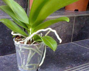 Орхидея в прозрачном горшке