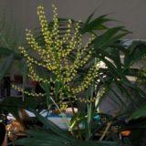 цветение-хамедореи1