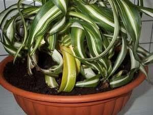 Желтеют листья хлорофитума