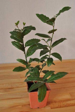 Лавровое дерево в домашних условиях: уход и размножение, пересадка и распространенные болезни