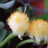 Гемантус белый
