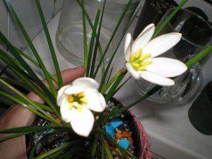 Зефирантес белоснежный