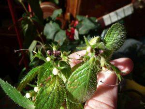 Ахименес пятна на листья
