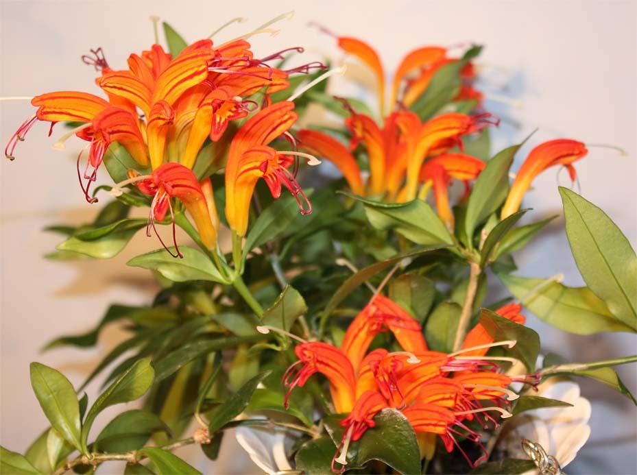 Комнатные цветы эсхинантус фото выращивание уход размножение 865
