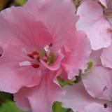 Герань королевская Pink Mikado