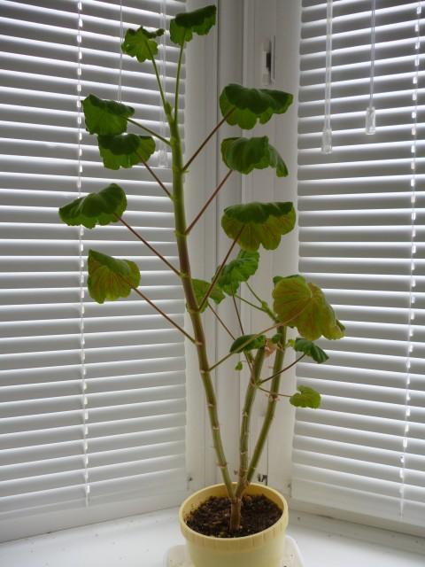 Сохнут листья у герани что делать