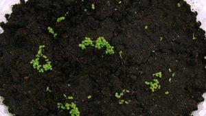 Семена кальцеолярии