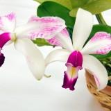 Каттлея violacea
