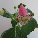 Колерия наперстянкоцветковая