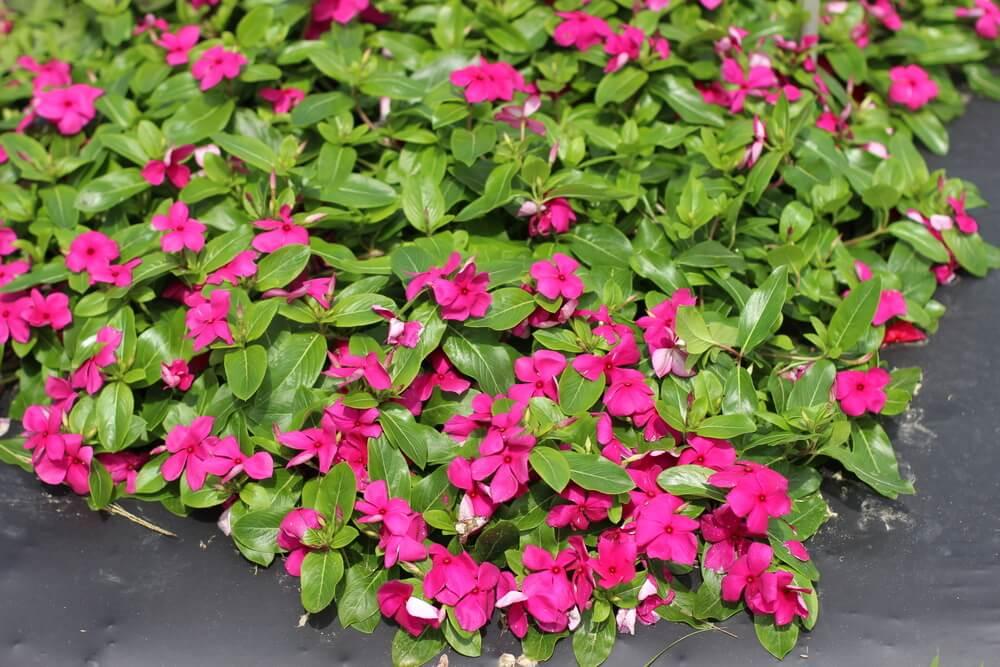 Катарантус выращивание из семян в домашних 8