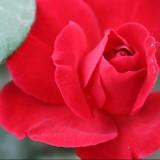 Бенгальская роза