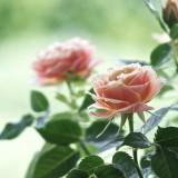 Чайная роза Нифетос