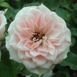 Миниатюрная роза Даниэла