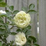 Миниатюрная роза Зеленый лед