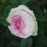 Полиантовая роза Клотильда
