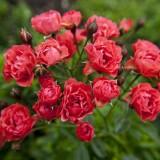 Полиантовая роза Триумф