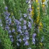 Розмарин Tuscan Blue