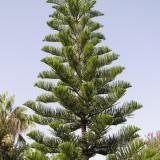 Араукария колоновидная