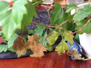 Циссус сохнут листья